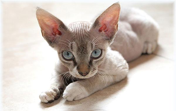 Гипоаллергенные породы кошек - Девон-рекс