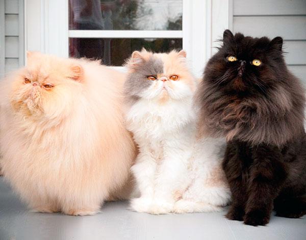 Длинношерстная кошка отличается мягким нравом и любовью к маленьким детям