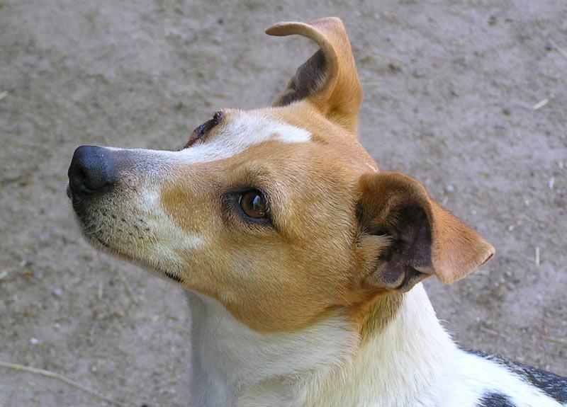 Джек-рассел-терьера рекомендуется кормить промышленным кормом, предназначенным для активных собак