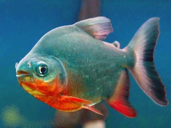 Начинающим аквариумистам рекомендуется приобрести карликовую или флаговую пиранью