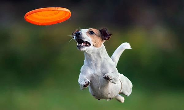 """""""Зависание в воздухе"""" при ловле летающих тарелок, палок и мячиков — излюбленное времяпрепровождение джек-рассел-терьер"""