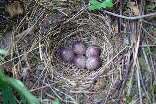 На гнездовья лесные коньки прилетают, как правило, в апреле или первой декаде мая