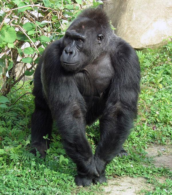 День гориллы рочень насыщененн и начинается с короткой прогулки вокруг гнезда, поедания листвы или травы