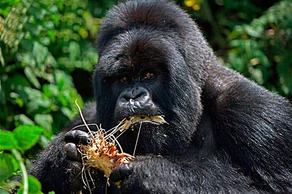 Часть рациона восточной гориллы представлена плодами