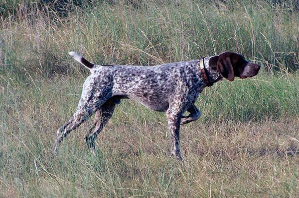 Охотничьи породы собак - охотничьи легавые: сеттер, спаниель, курххаар и дратхаар