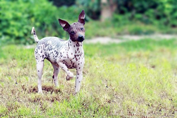 Гипоаллергенные породы собак - Американский голый терьер