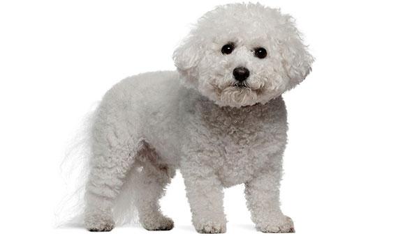 Гипоаллергенные породы собак - Бишон фризе