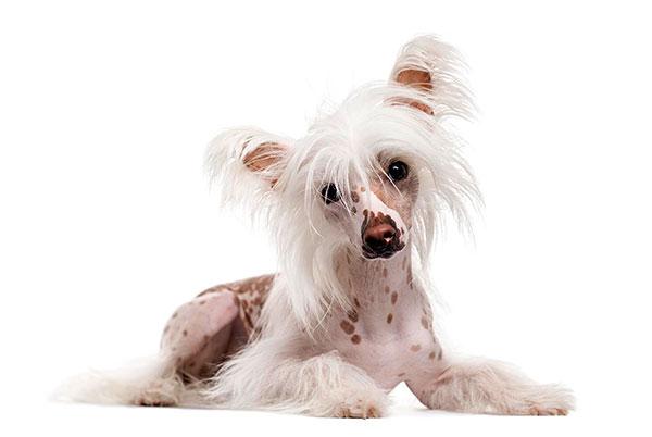 Гипоаллергенные породы собак - Китайская хохлатая