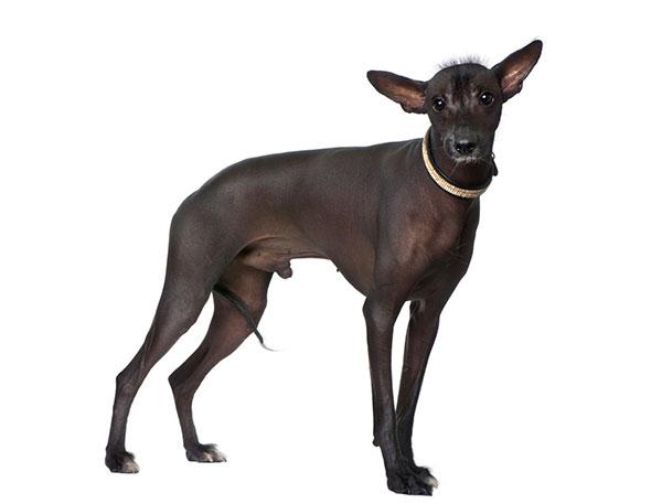 Гипоаллергенные породы собак - Перуанская орхидея инков