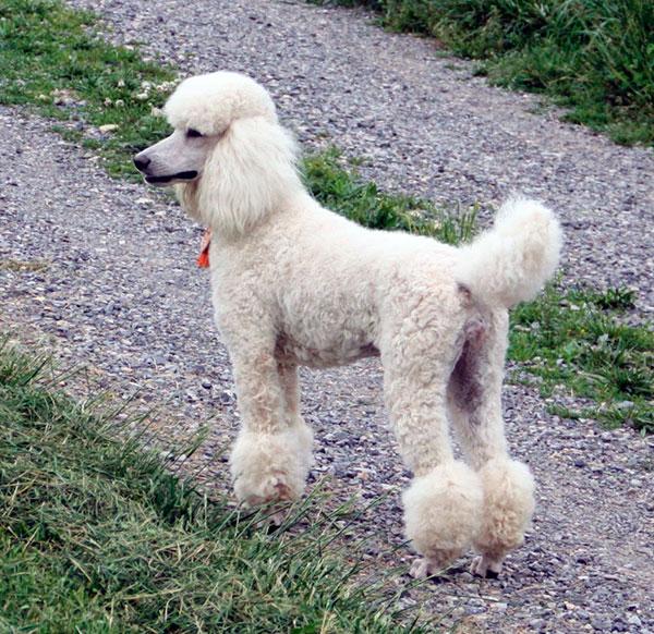 Гипоаллергенные породы собак - Пудель