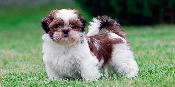 Гипоаллергенные породы собак - Ши-тцу