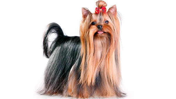 Гипоаллергенные породы собак - Йокширский терьер