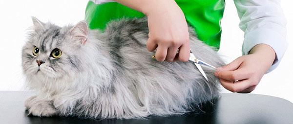 Гигиеническую стрижку проводят по мере необходимости, а для кошек с короткой шерстью стрижка вообще не нужна