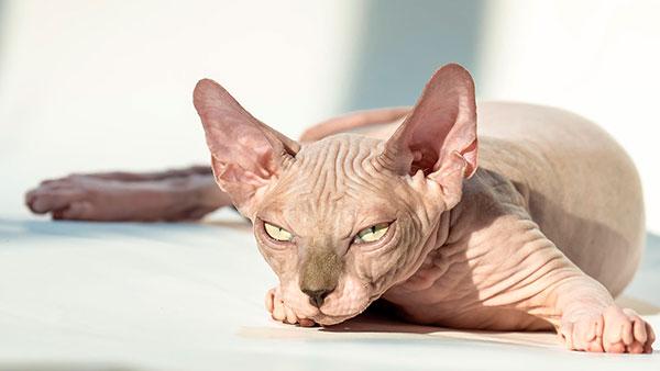 Гипоаллергенные породы кошек - Канадский сфинкс