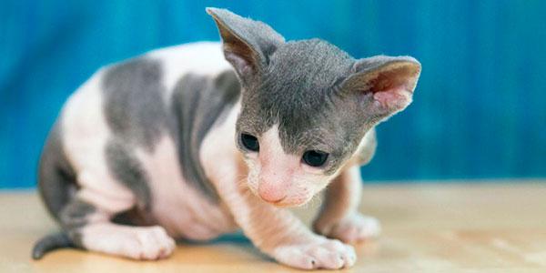 Гипоаллергенные породы кошек - Корниш-рекс