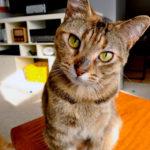 Какая порода кошки лучше для квартиры