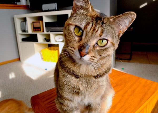 Как правило, коты намного наглее, самостоятельнее и грубее кошечек