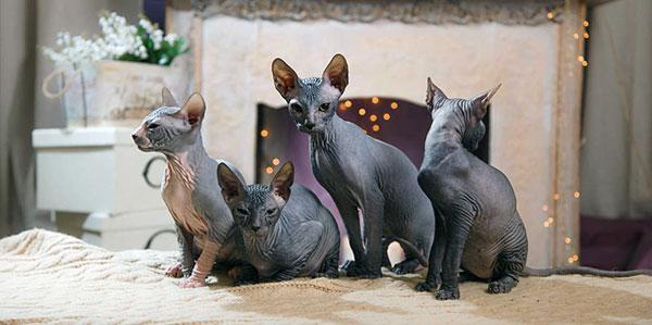 Кошки для содержания в квартире - Донской сфинкс