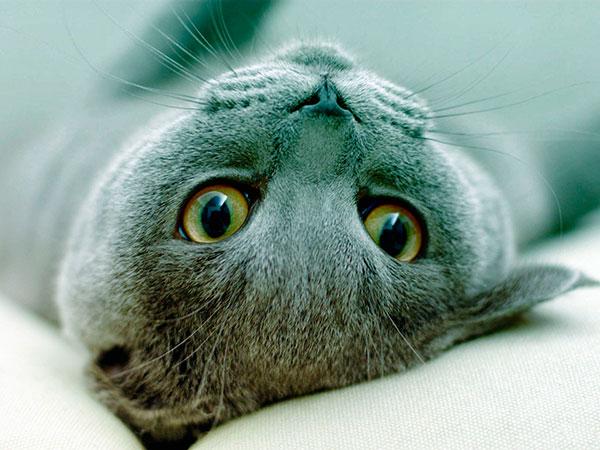 Породы кошек: Русская голубая кошка