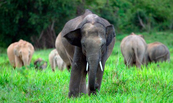 Матриархат у слонов устроен следующем образом - есть одна, самая взрослая самка, которая руководит своими менее опытными сестрами, детьми и достигшими половой зрелости самцами