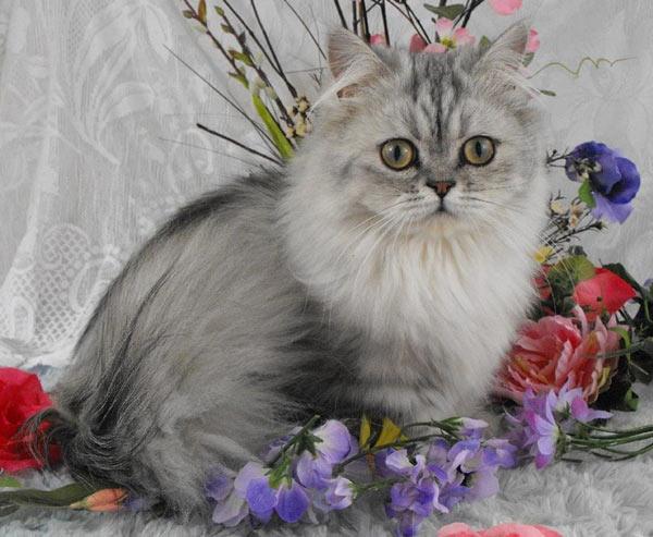 Самые маленькие породы кошек - Наполеон