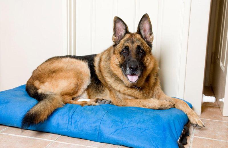 Немецкие овчарки считаются одними из самых умных и легко обучаемых пород собак