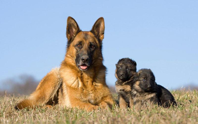Немецкая овчарка не относится к породам собак, требующим трудоёмкого ухода