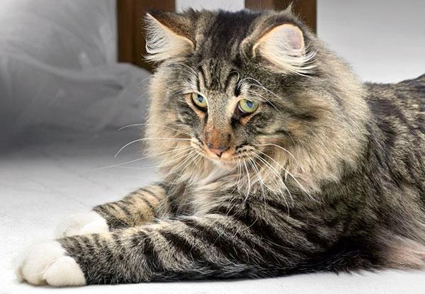 Норвежская лесная кошка, вполне домашнее животное с устойчивой психикой и миролюбивым нравом