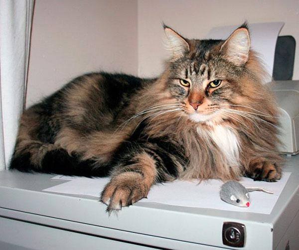 Норвежская лесная кошка отличаеться крепким здоровьем и за это отвечает вековой естественный отбор