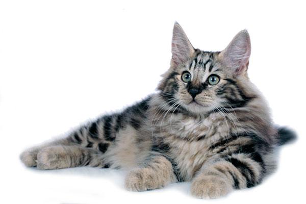 Панс Трулс и Пиппа Скогпусс - родоначальники современной норвежской лесной кошки