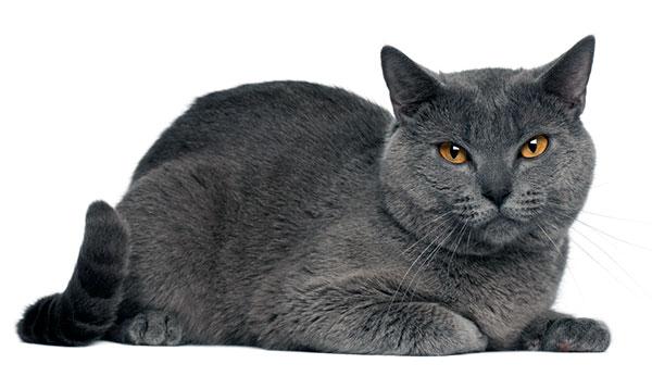 Кошки породы шартрез - короткошерстные , но выглядят довольно плотными и мускулистыми