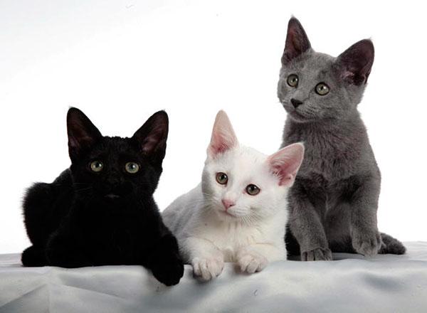 Бывают различные окрасы русской голубой кошки