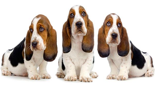 1444143756_12fg.jpg (745×552) | Бассет-хаунд, Собаки и щенки, Щенки | 338x600