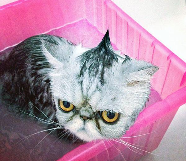 Особенно светлого окраса кошки или кота заключается в том, что их чаще других нужно мыть