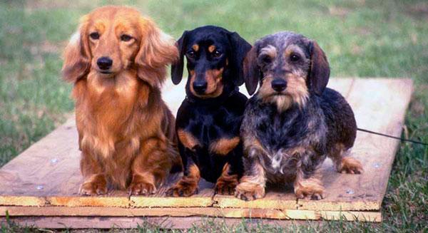Охотничьи породы собак - охотничья норка: таксы, фокстерьеры и ягдтерьеры