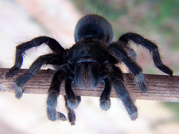 Южнорусский тарантул – самый большой паук, который обитает на большей территории бывшего СССР