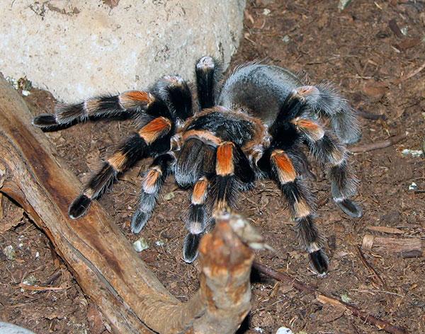 У тарантула должна быть возможность копать нору, поэтому дно арахнария засыпают глиной с песком