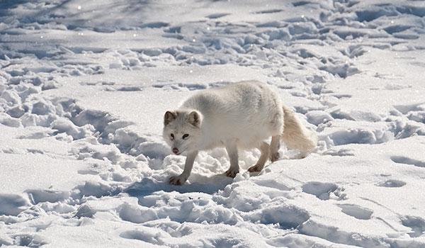 Среда обитания песца (полярной лисицы) - почти весь Северный полюс