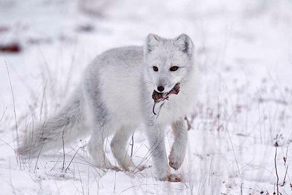 Основной добычей для полярной лисицы (песца) являются лемминги