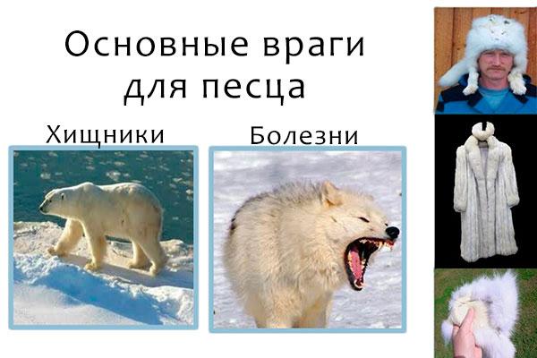 Прямыми врагами для полярной лисицы (песца) являются хищники и болезни