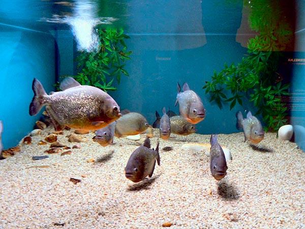 Одна стайка пираний, состоящая из пяти-восьми рыб, должна содержаться в аквариуме, объем которого может варьироваться в пределах 170-200л