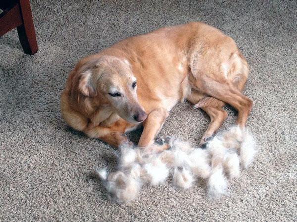 Зараженная паразитами собака линяет без остановки, пока не облысеет полностью