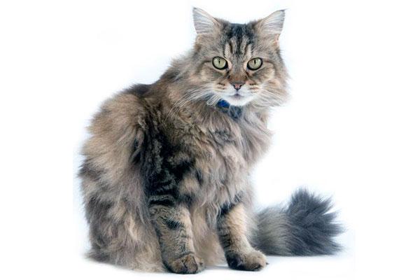 Породы кошек: Рагамаффин – американская порода кошек родом из Калифорнии