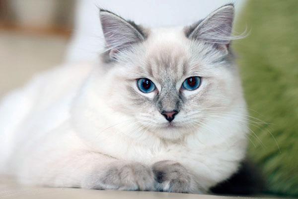 Породы кошек: Рэгдолл