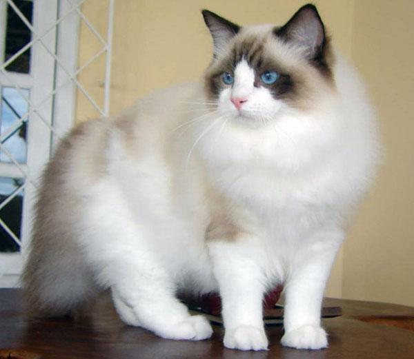 Редголл исключительно домашняя кошка