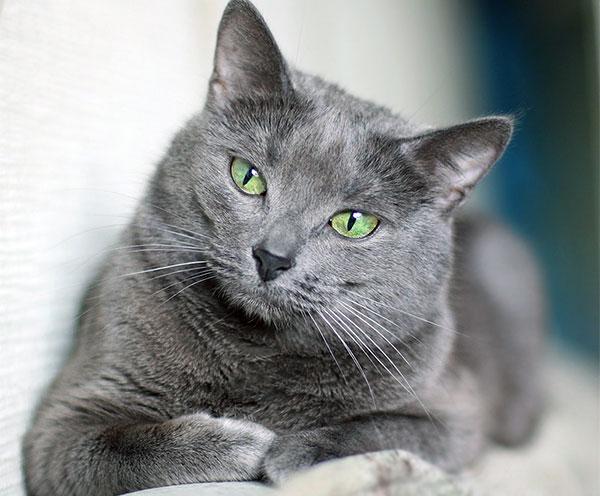 Густой мех русской голубой визуально укорачивает длинную кошачью шею