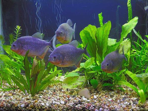 Очень удобным вариантом кормления аквариумного хищника является подвешивание корма на ниточке