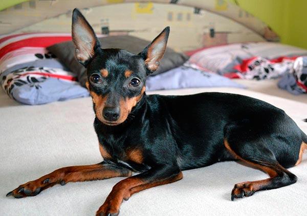 Это маленькая собака (высота в холке — от 20 до 23 см) с гармоничным телосложением