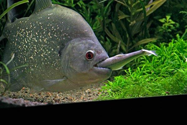 При кормление испольйте целью мелкую рыбу, креветок, мясо кальмара, а также дождевых червей