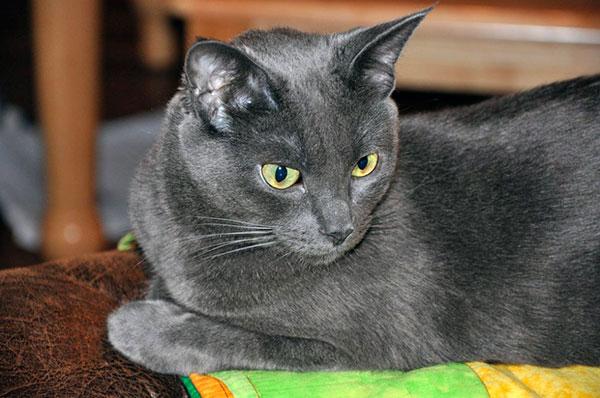 Перед заводчиками встала задача - вернуть внешний вид этих кошек, подпорченный сиамскими кровями